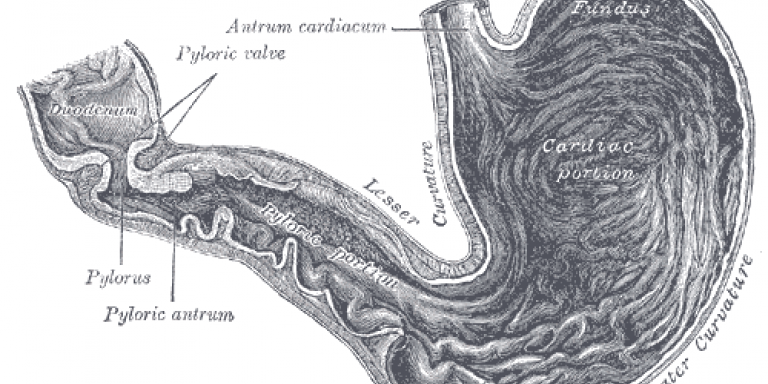 Diagram of the stomach connecting to the duodenum (small intestine)